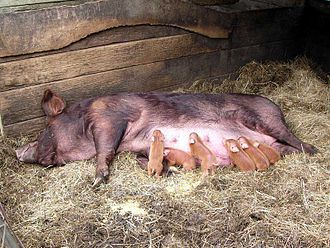 Tamworth pig - A Tamworth sow with her piglets