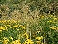 Tanacetum vulgare & Conium maculatum (5062801366).jpg