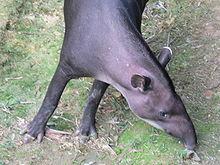 Brazilian Tapir - Tapirus terrestris - Details