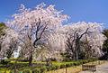 TaroTokyo-2011-Tougouji-Sakura-DSC2283.jpg
