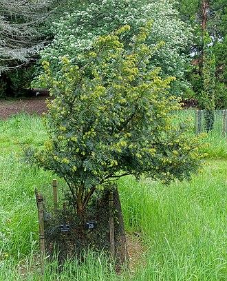 Taxus wallichiana - Image: Taxus wallichiana Hillier Gardens Romsey, Hampshire, England DSC04405