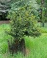 Taxus wallichiana - Hillier Gardens - Romsey, Hampshire, England - DSC04405.jpg