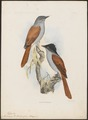 Tchitrea bourbonnensis - 1868 - Print - Iconographia Zoologica - Special Collections University of Amsterdam - UBA01 IZ16500405.tif