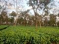 Tea Garden , Lakhimpur.jpg