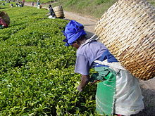 Worker picking tea flushes in Tanzania.