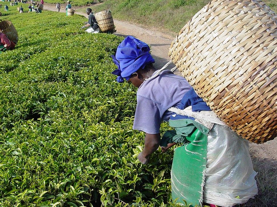 Tea plantation picking