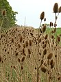 Teasels on the march - geograph.org.uk - 414007.jpg