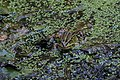 Teichfrosch Pelophylax esculentus 7710.jpg