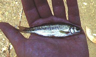 <i>Telestes muticellus</i> Species of fish