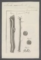 Teredo navalis - - Print - Iconographia Zoologica - Special Collections University of Amsterdam - UBAINV0274 080 02 0003.tif