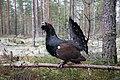 Tetrao urogallus (mating display) (26738644457).jpg