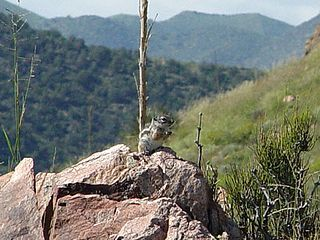 Texas antelope squirrel species of mammal