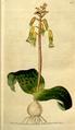 The Botanical Magazine, Plate 82 (Volume 3, 1790).png