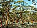 The Great Western Woodlands.jpg