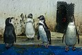The Penguins of Madagascar (на самом деле нет) (8392315898).jpg