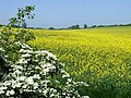 The White and Yellow of May. Near Stanmore, Shropshire - geograph.org.uk - 423467.jpg