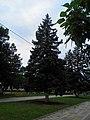 The blue spruce on the boulevard. July 2013. - Голубая ель на бульваре. Июль 2013. - panoramio.jpg