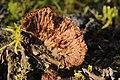 Thelephora terrestris (38509660756).jpg