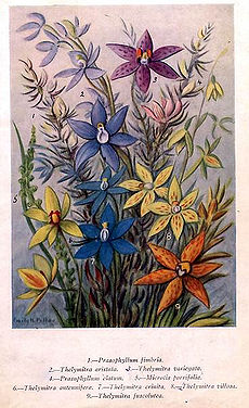 Thelymitra.PLateI.jpg