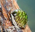 Theodoxus fluviatilis Mollusque eau douce Charente 2.JPG