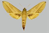 Theretra insularis ambrymensis, female, upperside. Vanuatu, Nth Ambrym Island, Olal mission area.jpg