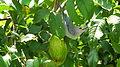 Thraupis sayaca feeding on guavas (2835949843).jpg