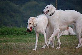 Three Borzoi.jpg
