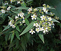 Tibouchina longifolia (14452711028).jpg