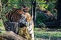 Tiger (15624453345).jpg