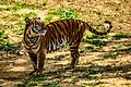 Tiger @ banneghatta national park.jpg