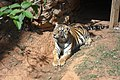 Tigre Zoo-Botânica de BH - MG.jpg