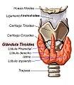Tiroides anatomia 01.jpg