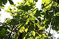 Tithonia diversifolia 5zz.jpg