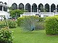 Tivoli - Indian peafowl 02.JPG