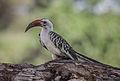 Tockus erythrorhynchus -Samburu National Reserve, Kenya-8 (2).jpg