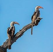 Tocos piquigualdos sureños (Tockus leucomelas), parque nacional Makgadikgadi Pans, Botsuana, 2018-07-30, DD 14.jpg