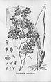 Tolumnia guttata (as Oncidium guttatum) - Fl.Br. 3-6-83.jpg