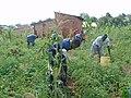 Tomato Harvesting.jpg