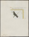 Topaza mellivora - 1700-1880 - Print - Iconographia Zoologica - Special Collections University of Amsterdam - UBA01 IZ19100255.tif