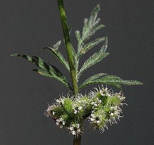 Torilis nodosa - Image: Torilisnodosa