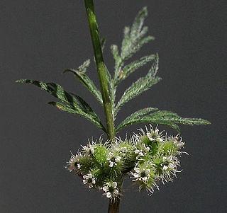 <i>Torilis nodosa</i> Species of flowering plant