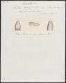 Tortrix xenopeltis - kop - 1837 - Print - Iconographia Zoologica - Special Collections University of Amsterdam - UBA01 IZ12000247.tif
