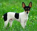 Toy Fox Terrier 2.jpg