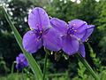 Tradescantia ohiensis - Ohio Spiderwort 2.jpg