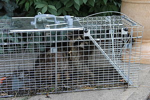 Trapping - Trapped raccoon