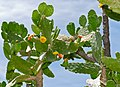 Tree Opuntia (Consolea falcata), almost extinct in the wild with around 10 specimen left in a single locality of the North-western coast of Haiti ... (34913704844).jpg