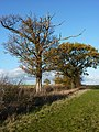 Trees by footpath - geograph.org.uk - 1582298.jpg