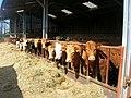 Tresunger cattle - geograph.org.uk - 389561.jpg