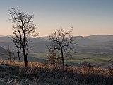Treviño - Cerro de Treviño - Quercus faginea 02.jpg