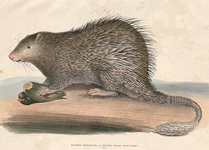 Long-tailed porcupine - Image: Trichys fasciculata Hardwicke